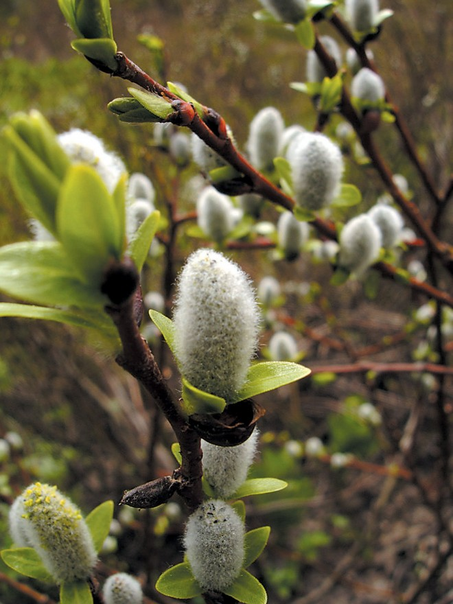 Barclay's willow (Salix barclayi)