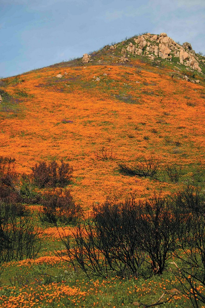 Slopes above Del Dios Highway, San Diego County, ablaze with wildflowers in spring 2008. Author's photographs - See more at: http://www.pacifichorticulture.org/articles/fire-and-ice-in-a-southern-california-garden/#sthash.CCujYNr7.dpuf