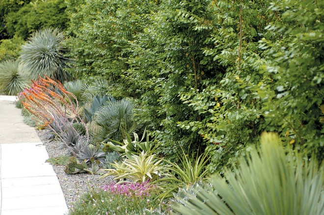 The rain-only garden designed by Brandon Tyson, against a backdrop of Azara dentata, with Yucca rostrata at the furthest point behind orange spikes of Dyckia 'Jim's Red'. Photographs by Cyrus Harmon