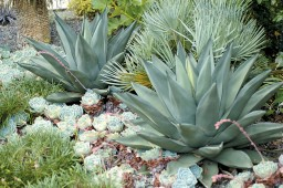 cover around two magnificent specimens of Agave 'Sharkskin', with Chamaerops humilis 'Algerian Grey' in between