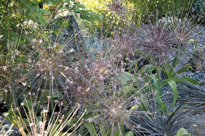 Allium schubertii inflorescences add a brief display of floral fireworks in spring
