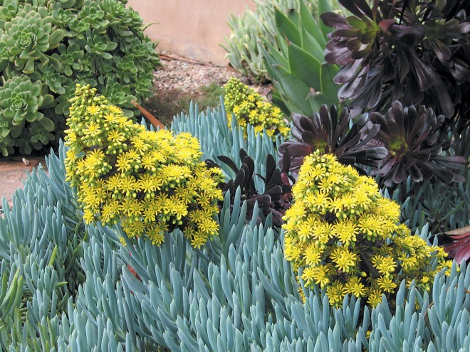 Fleshy leafed succulents, like blue gray Senecio mandraliscae and nearly black Aeonium arboreum 'Zwartkop' with its bright yellow flowers, add a lushness to the water- conserving landscape. Photograph by RGT
