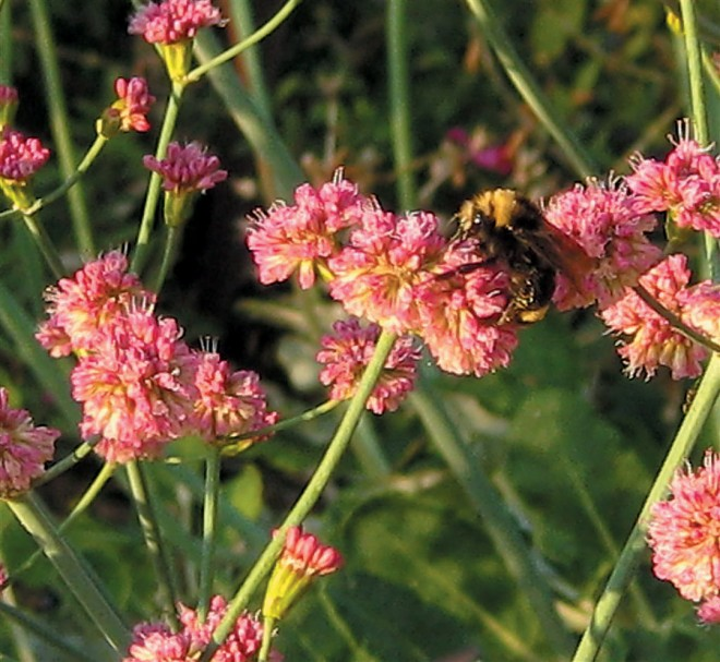San Miguel Island buckwheat (Eriogonum grande var. rubescens) provides nectar and pollen to native pollinators, like this bumblebee, and other beneficial insects. Photograph by Susan Fitzgerald - See more at: http://www.pacifichorticulture.org/articles/the-ruth-risdon-storer-garden-evolution-of-a-valley-wise-garden/#sthash.9xwzSEj3.dpuf