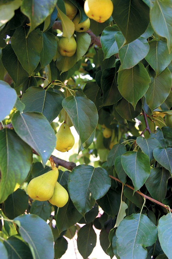 'Ya Li' Asian pear