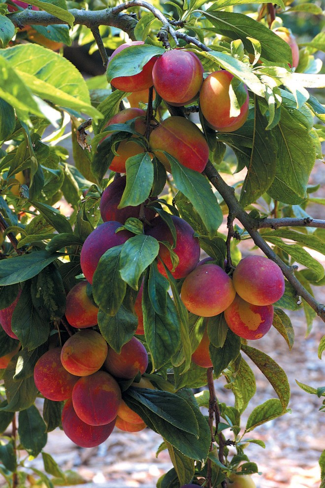 Ripening 'Santa Rosa' plums. Author's photographs