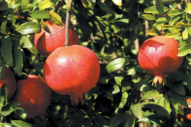 Pomegranate (Punica granatum 'Wonderful')