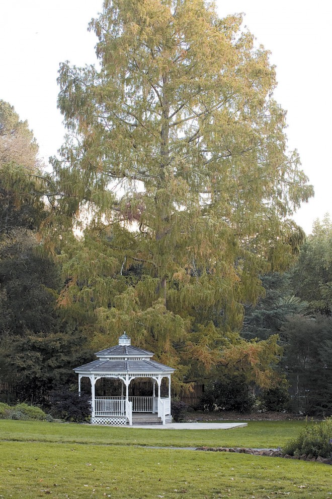 A majestic dawn redwood (Metasequoia glyptostroboides) towers over the garden gazebo. Photographs by Saxon Holt, except as noted