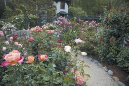The rose garden at the Marin Art and Garden Center