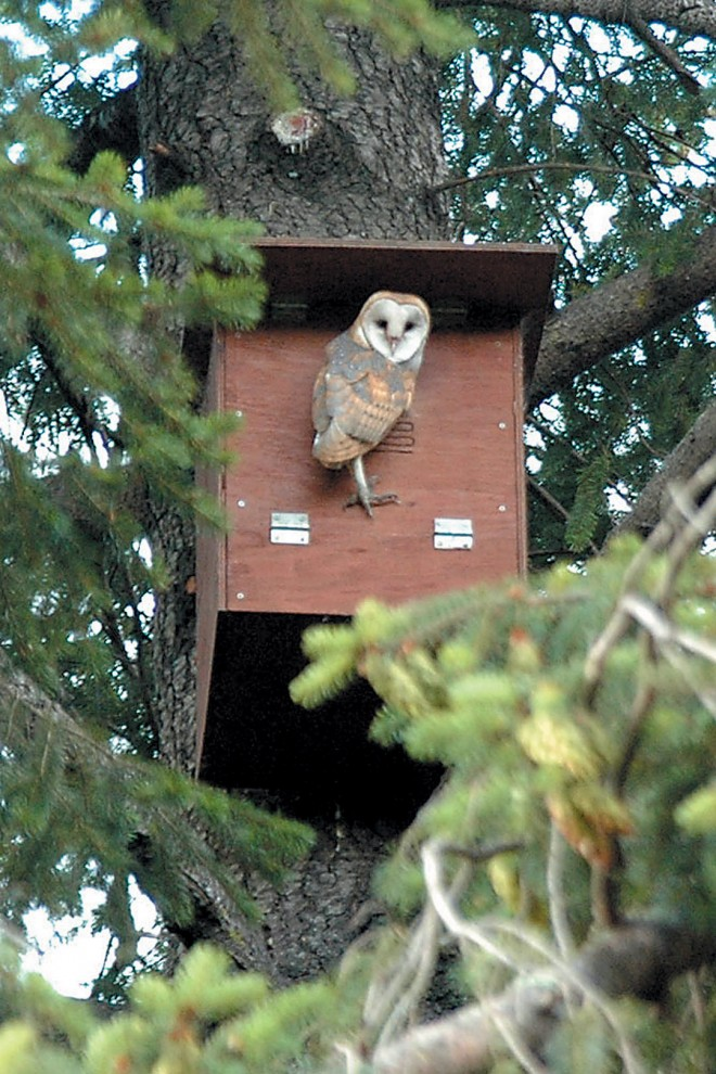 A barn owl perched at an owl box provided by the Hungry Owl Project. Photograph by David Goodman