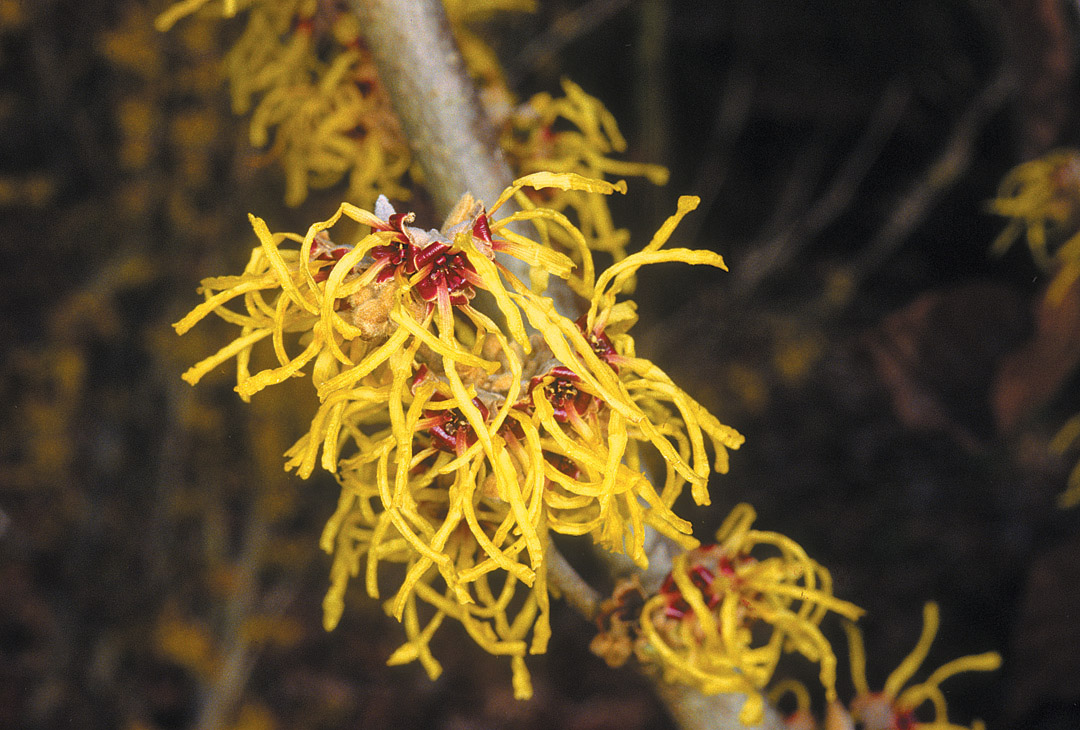Pacific Horticulture Society Witch Hazel Queen Of Winter