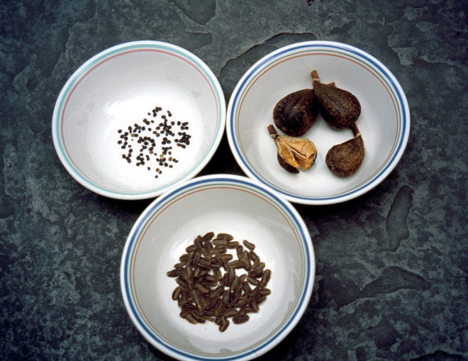 Seeds come in every size imaginable: (clockwise from top left) Colutea 5 media, fruits of Cardiocrinum cathayanum, and black parsley (Melanoselinum decipiens) - See more at: http://www.pacifichorticulture.org/articles/seeds-miracles-in-tiny-packages/#sthash.R6cvE4q4.dpuf