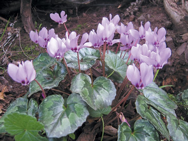 A deep pink Cyclamen pseudibericum in the editor's garden. Photograph by RGT - See more at: http://www.pacifichorticulture.org/articles/cyclamen-for-winter-and-spring/#sthash.7XN24K6J.dpuf