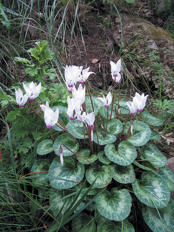 Cyclamen persicum in the editor's garden. Photograph by RGT - See more at: http://www.pacifichorticulture.org/articles/cyclamen-for-winter-and-spring/#sthash.7XN24K6J.dpuf