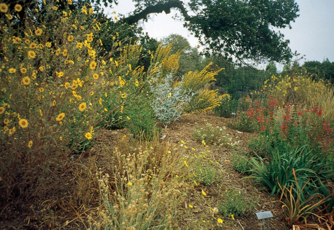 Tarweed (Madia elegans) and goldenrod (Solidago sp.) color the late summer meadow - See more at: http://www.pacifichorticulture.org/articles/the-untamable-beauty-of-californias-wildflowers/#sthash.omt2N1iG.dpuf