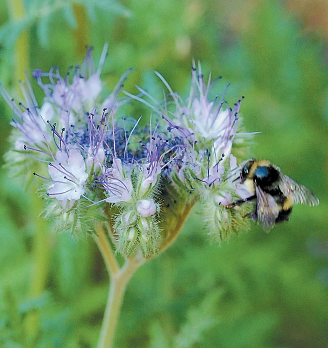 A bumblebee feeds on the pale blue flowers of Phacelia sp. Photograph by Mieko Watkins - See more at: http://www.pacifichorticulture.org/articles/the-untamable-beauty-of-californias-wildflowers/#sthash.omt2N1iG.dpuf