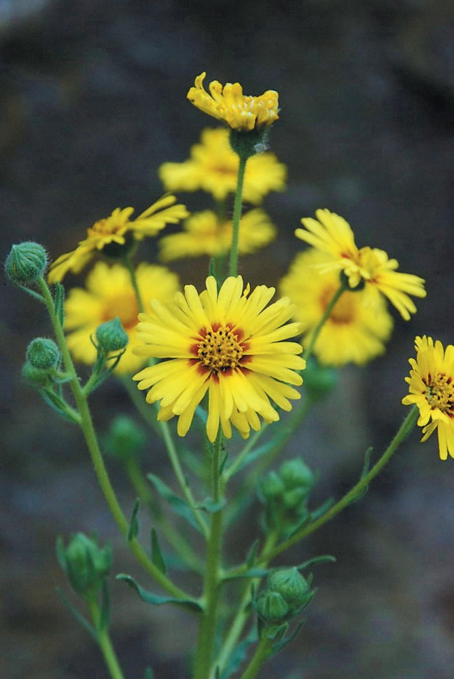 A yellow tarweed (Madia sp.) provides late summer color. Photograph by Mieko Watkins - See more at: http://www.pacifichorticulture.org/articles/the-untamable-beauty-of-californias-wildflowers/#sthash.omt2N1iG.dpuf