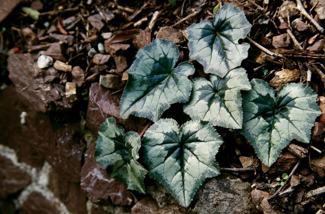 Intricately patterned, ivy-shaped leaves of Cyclamen hederifolium appear after the flowers and last through winter. Photograph by RGT