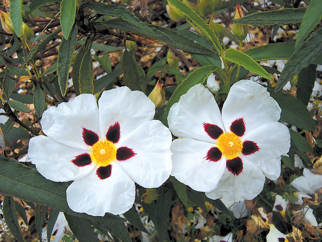 Rockroses For Northwest Gardens
