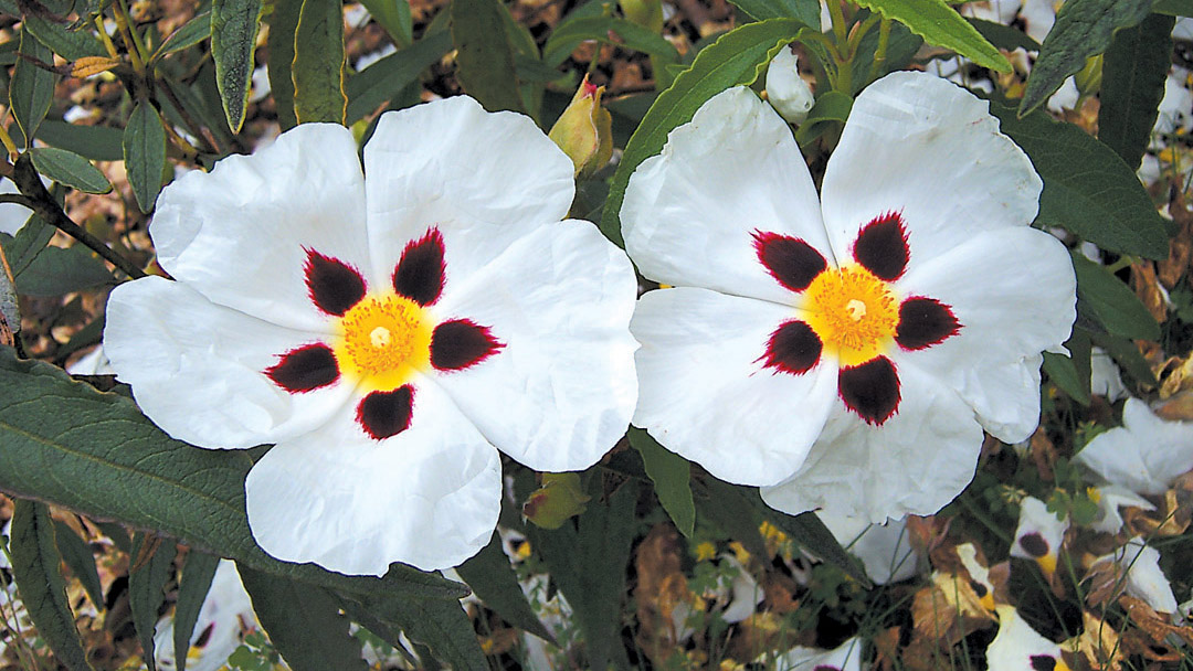Pacific Horticulture Society Rockroses For Northwest Gardens