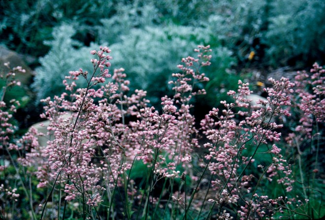Heuchera 'Lillian's Pink' against a silvery Artemisia
