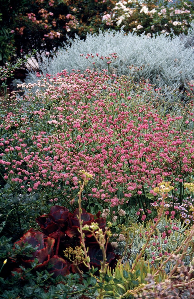 Red-flowered buckwheat (Eriogonum grande var. rubescens)