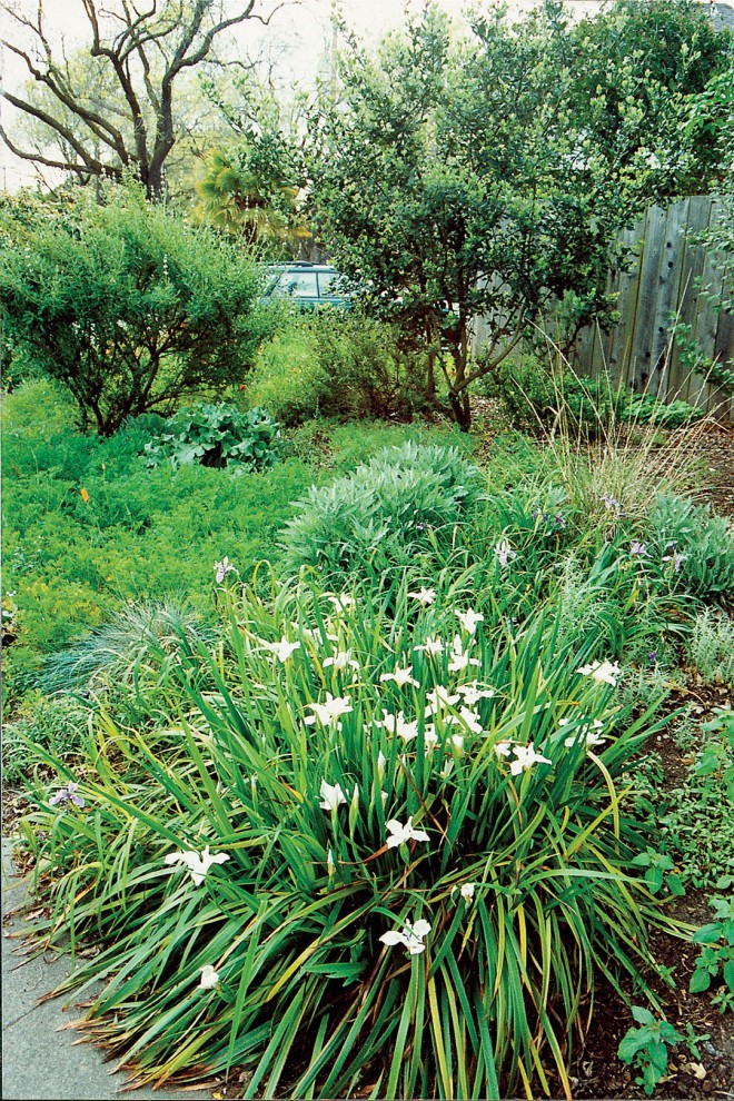 A solid carpet of annual seedlings surrounds a large clump of Douglas iris (Iris douglasiana) in March. Author's photographs