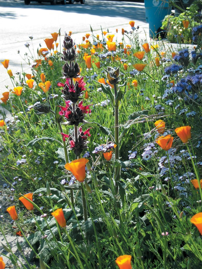 Hummingbird sage (Salvia spathacea) complements the poppies and birds' eye gilia (Gilia tricolor) in May