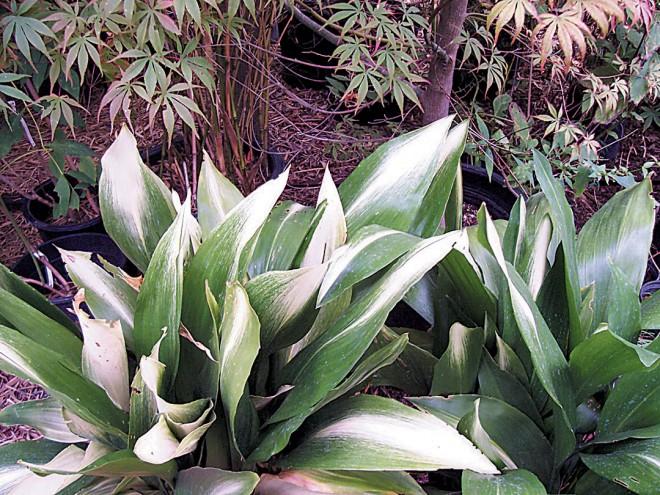 Japanese aralia (Fatsia japonica 'Variegata')