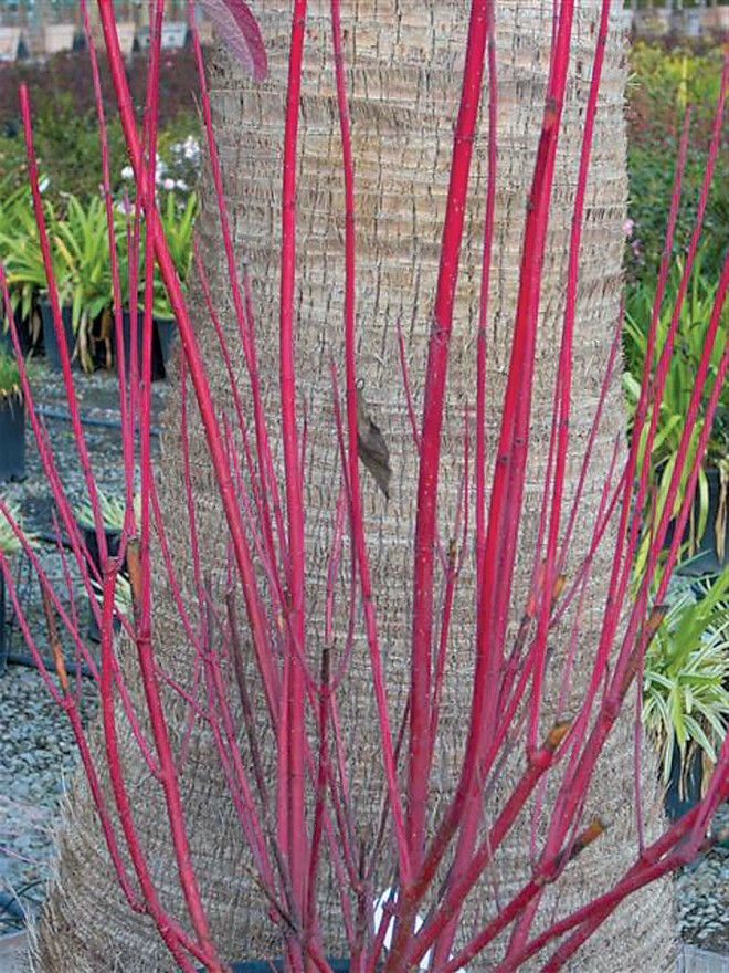 Redtwig dogwood (Cornus sericea). Photograph courtesy Devil Mountain Nursery - See more at: http://www.pacifichorticulture.org/articles/winter-delights-in-the-garden-foliage-and-bark/#sthash.8M3JkdTz.dpuf