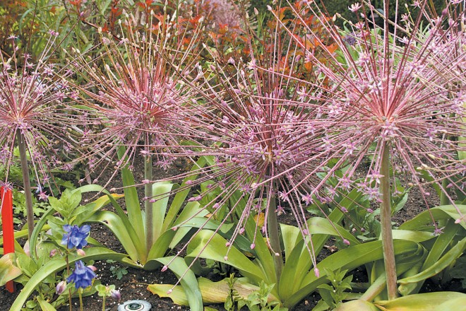 Springtime fireworks provided by Allium schubertii in the Central Garden