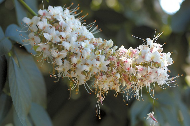 Close-up of a single inflorescence of California buckeye