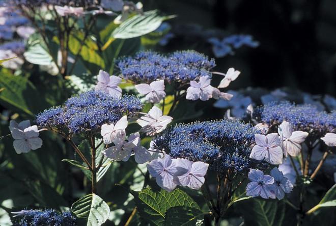 Lacecap hydrangea (Hydrangea macrophyllum 'Mariesii')