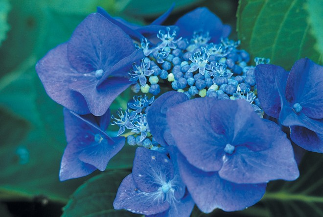 Hydrangea macrophyllum 'Blaumeise'