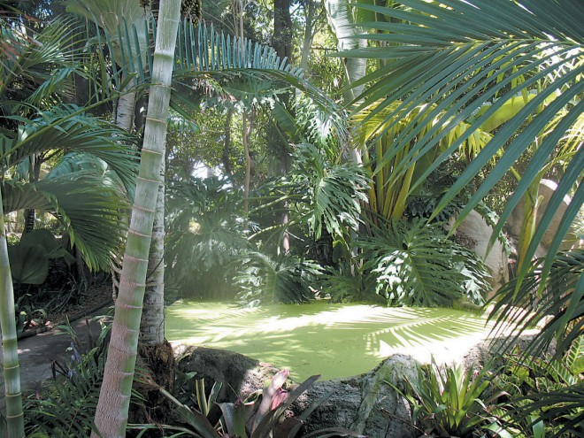 A misty green pool, centerpiece of the cloud forest garden; to the left, trunks of Dypsis baronii; behind the pool, Monstera deliciosa, better known as splitleaf philodendron. Author's photographs