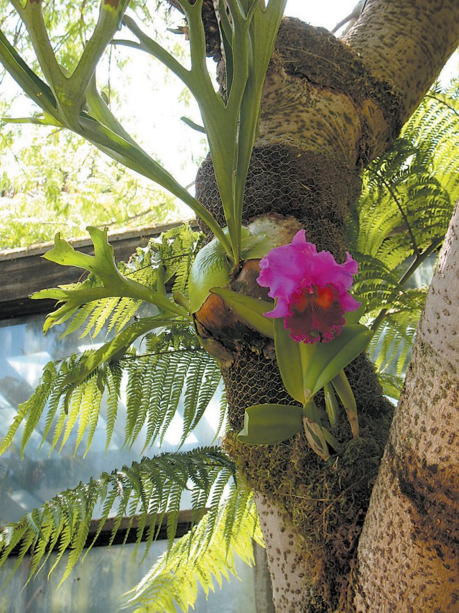 A staghorn fern (Platycerium vassei) and a hybrid orchid (Cattleya) on the trunk of another elephant's ear tree (Enterolobium cyclocarpa)