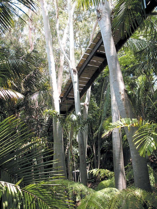 The skywalk, suspended between trunks of lemonscented gums (Eucalyptus citriodora), provides views down into palms and tree ferns