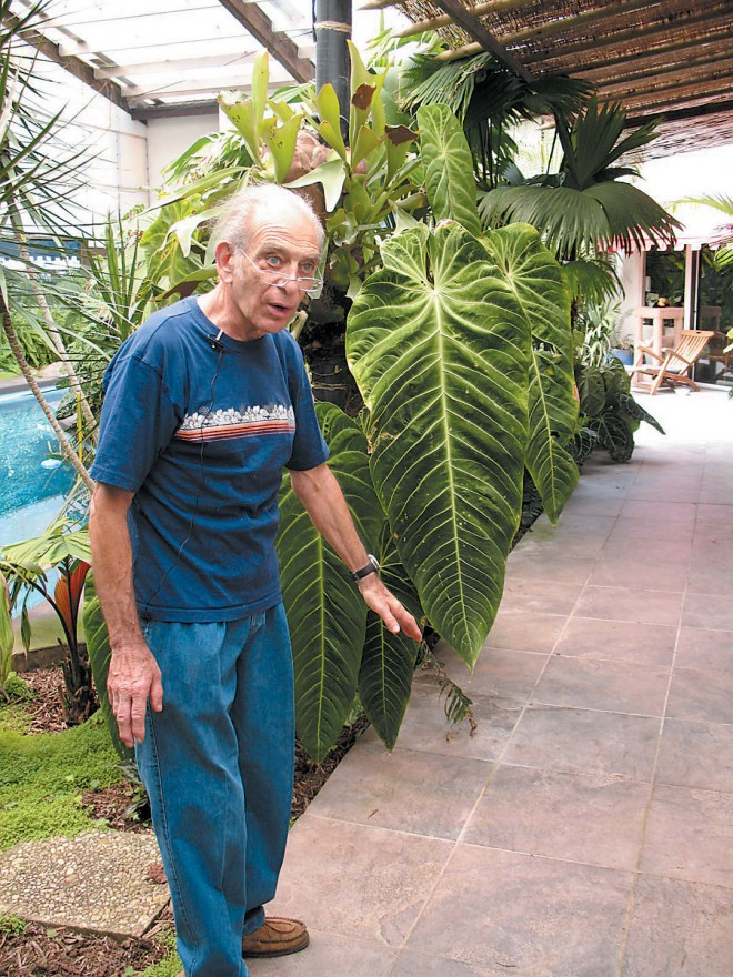 In his pool room, Dr Mardy Darian points out a giant leaf of the exceedingly rare Anthurium angamarcanum