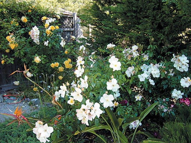 Thoughtful pruning maintains vigorous flowering stems on roses through the summer, and eliminates woody stems that could be more fire prone - See more at: http://www.pacifichorticulture.org/articles/the-fire-safe-cottage-garden/#sthash.UPALHBif.dpuf
