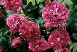 Rosa'Charles de Mills' (syn. 'Bizarre Triomphant'), a Gallica rose from 1746. Author's photographs, except as noted - See more at: http://www.pacifichorticulture.org/articles/miriam-wilkins/#sthash.9OHtM9eD.dpuf