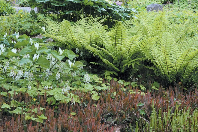 Dryopteris blandfordii in a garden with a white Trillium chloropetalum and a ground cover of Blechnum penna-marina. Photographs by Richie Steffen