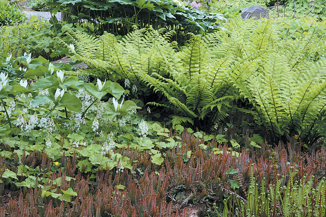 Dryopteris Blandfordii In A Garden With A White Trillium Chloropetalum And  A Ground Cover Of Blechnum