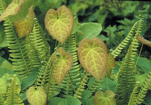 Blechnum spicant with the heart-shaped leaves of Epimedium 5 perralchicum