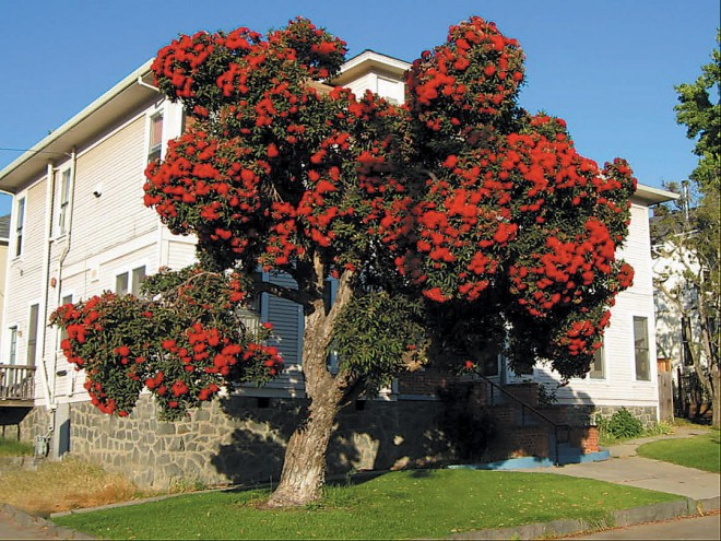 Red-flowered gum (Eucalyptus ficifolia) in a California landscape