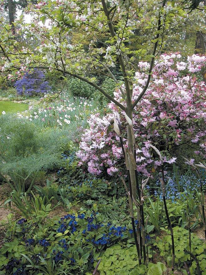 A portion of the woodland garden, with pink Rhododendron 'James Barto' above blue Omphalodes cappadocica and Primula 'Blue Cowichan'; dark, sinuous shoots of Disporum cantoniense 'Night Heron' in the foreground