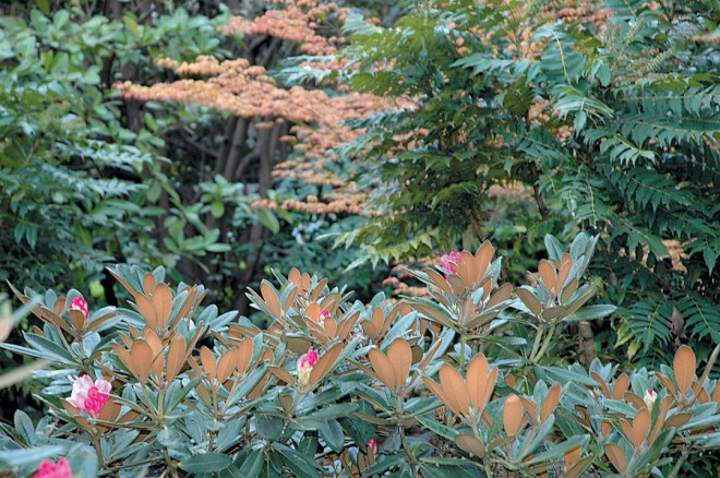 A Rhododendron yakushimanum hybrid with soft brown indumentum on the undersides of the leaves, which apparently makes the plant more resistant to the various mildews plaguing the rhododendron collection. Authors' photographs