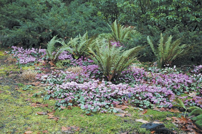 Asian saber ferns (Polystichum neolobatum) emerge froma long-established mat of Cyclamen coum in full flower