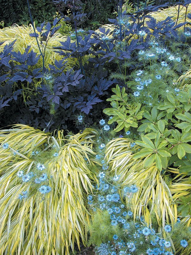 The perennial border has been enlivened with the gold-and-green striped foliage of Japanese forest grass (Hakenochloa macra 'Aureola') contrasting with the nearly black foliage of Actaea simplex 'Hillside Black Beauty'; pale blue annual love-in-a-mist (Nigella damascena) adds summer sparkle
