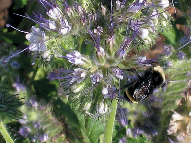 A bumblebee gathering nectar in flowers of Phacelia tanacetifolia. Author's photographs