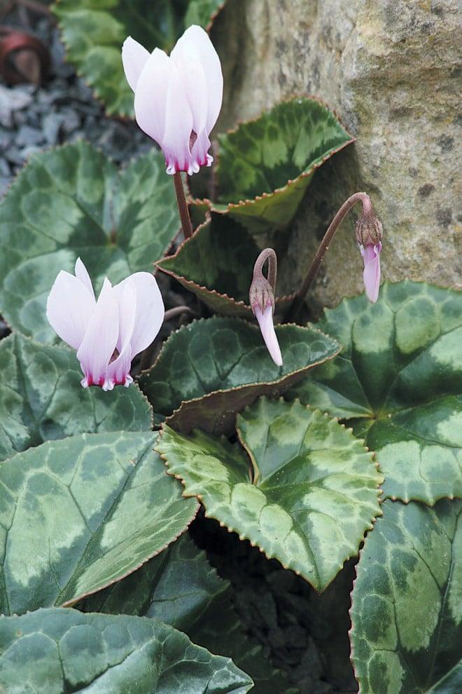 Cyclamen africanum