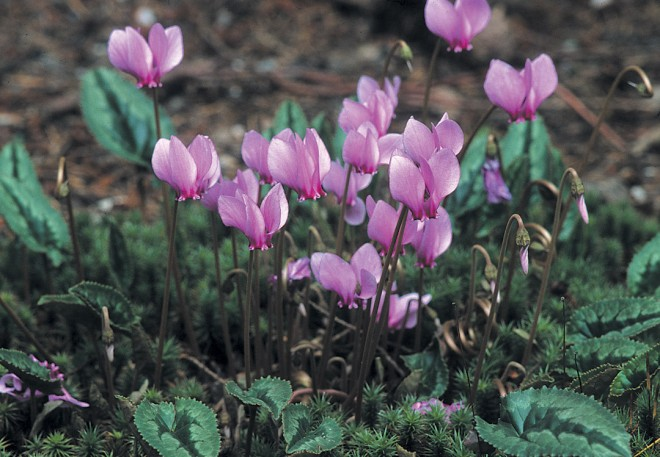 Cyclamen hederifolium, a deeply colored selection